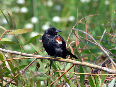 Tricolored Blackbird Emergency Listed as Endangered