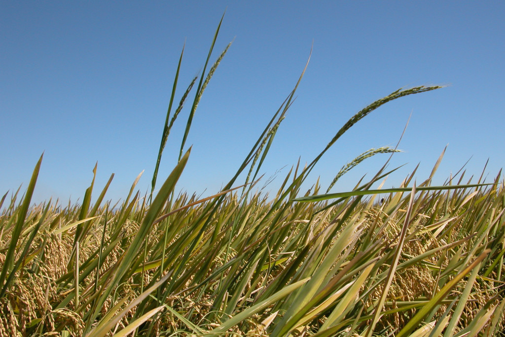 Rice Weed Information and Updates