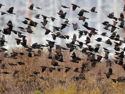 Tricolored Blackbirds now fully protected as an Endangered Species
