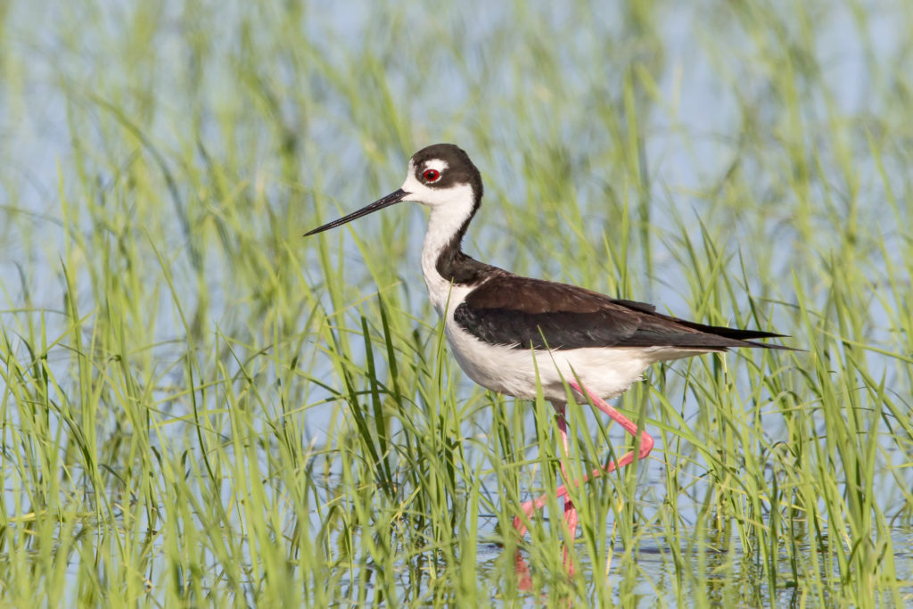 Shorebird Habitat Program Opportunity in Fallowed Fields