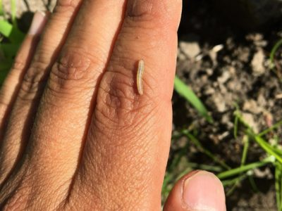 Armyworm Moth detections rising in the valley